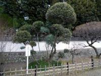 東郷平八郎手植えの月桂樹