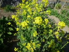 2012春花菜の花