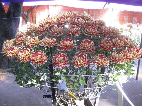 2色の菊のリング