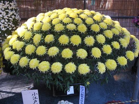 黄色の菊のリング