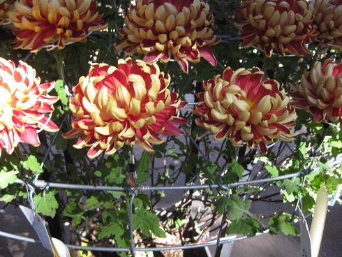 大輪の2色菊