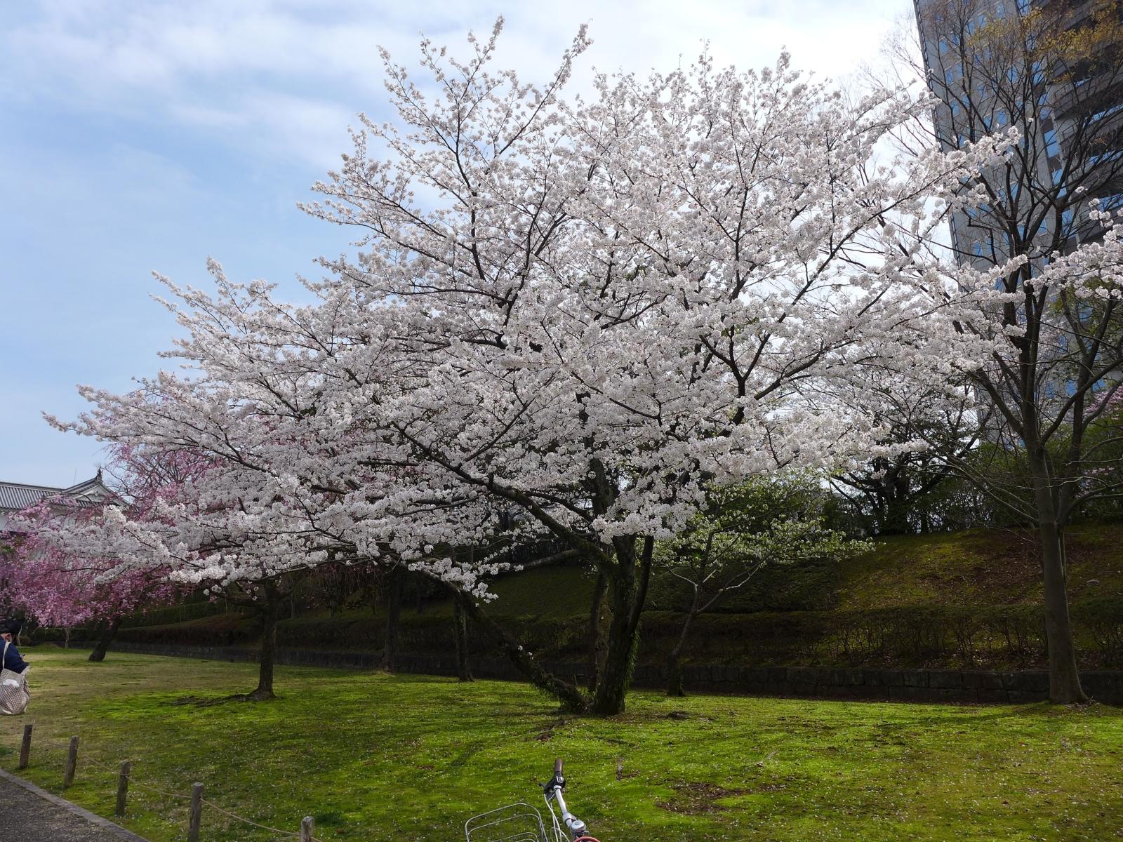 (130324) 駿府城桜-08