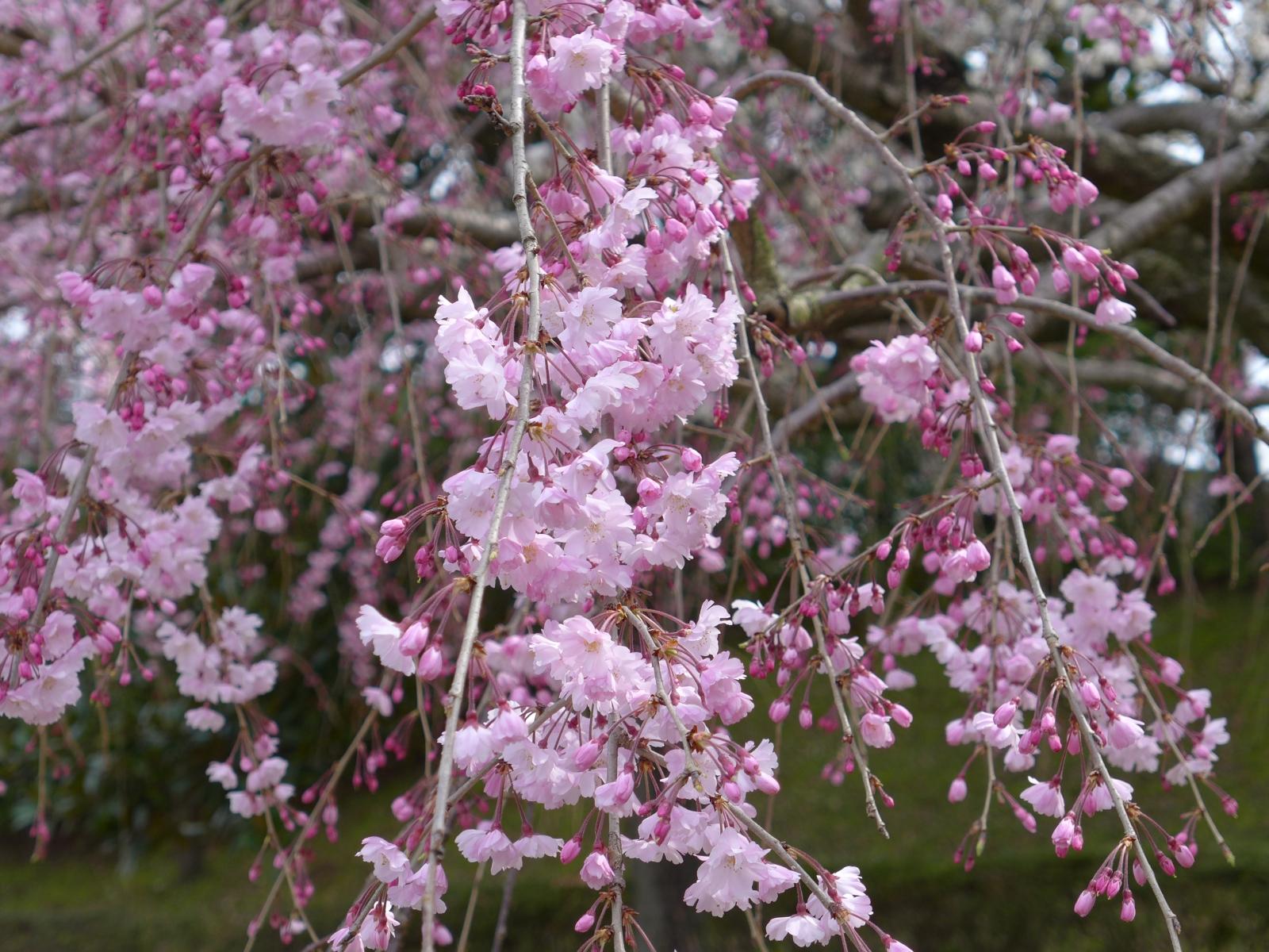 (130324) 駿府城桜-10