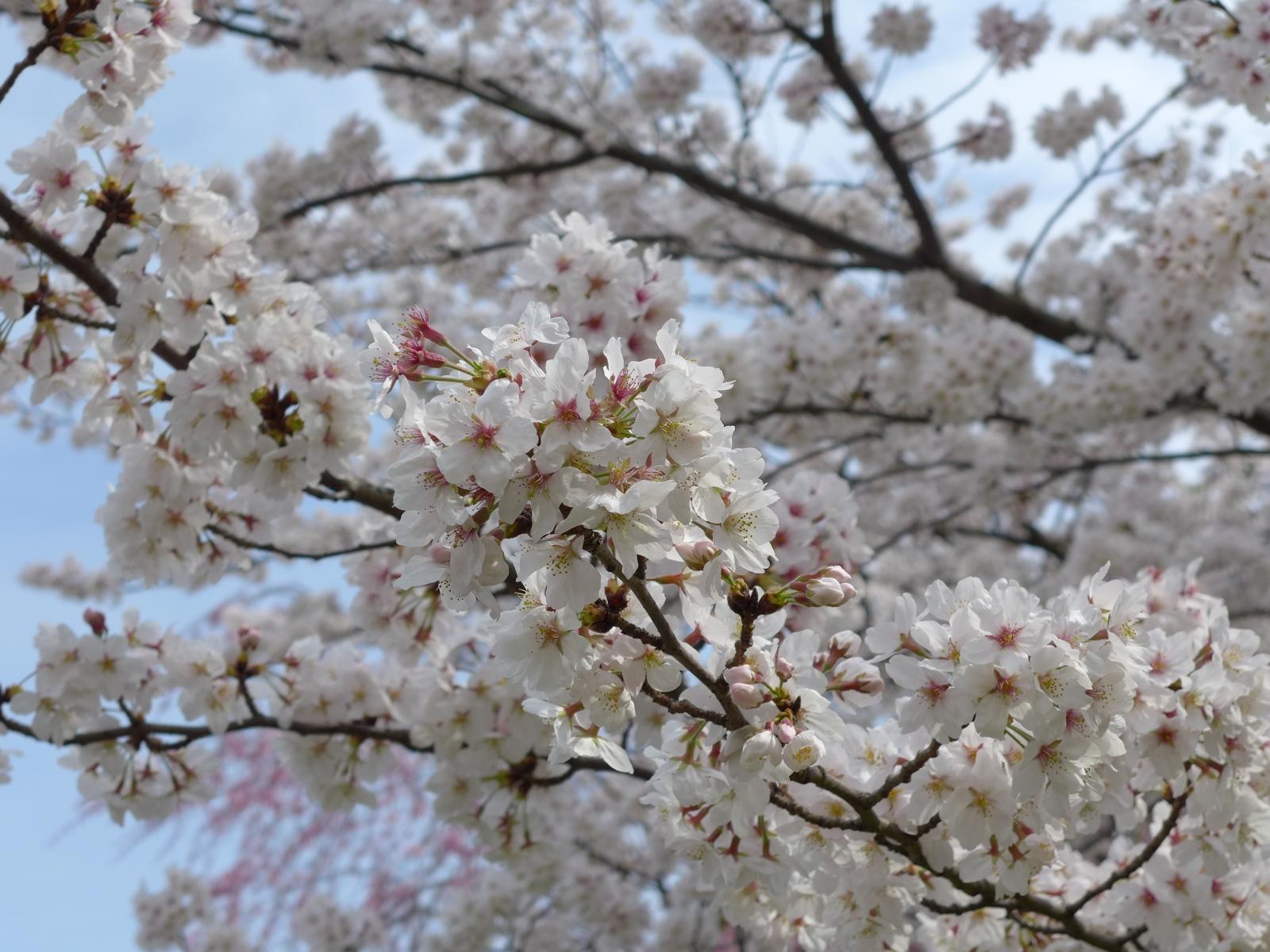 (130324) 駿府城桜-09