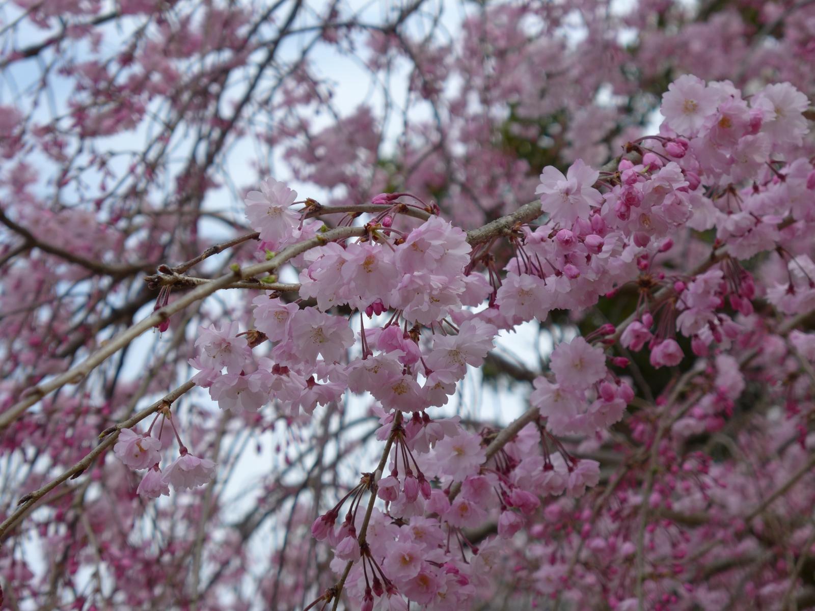 (130324) 駿府城桜-11