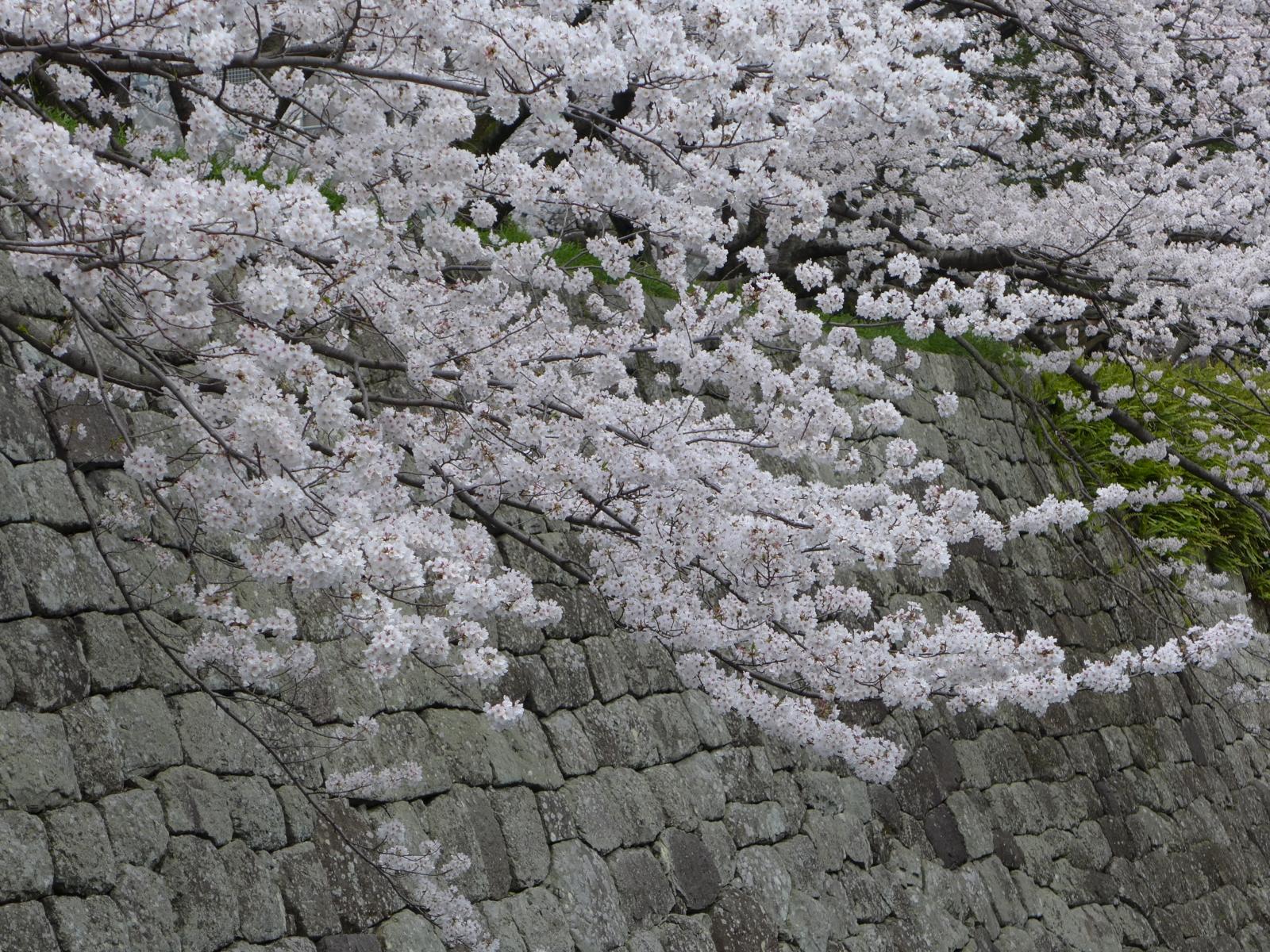(130324) 駿府城桜-03