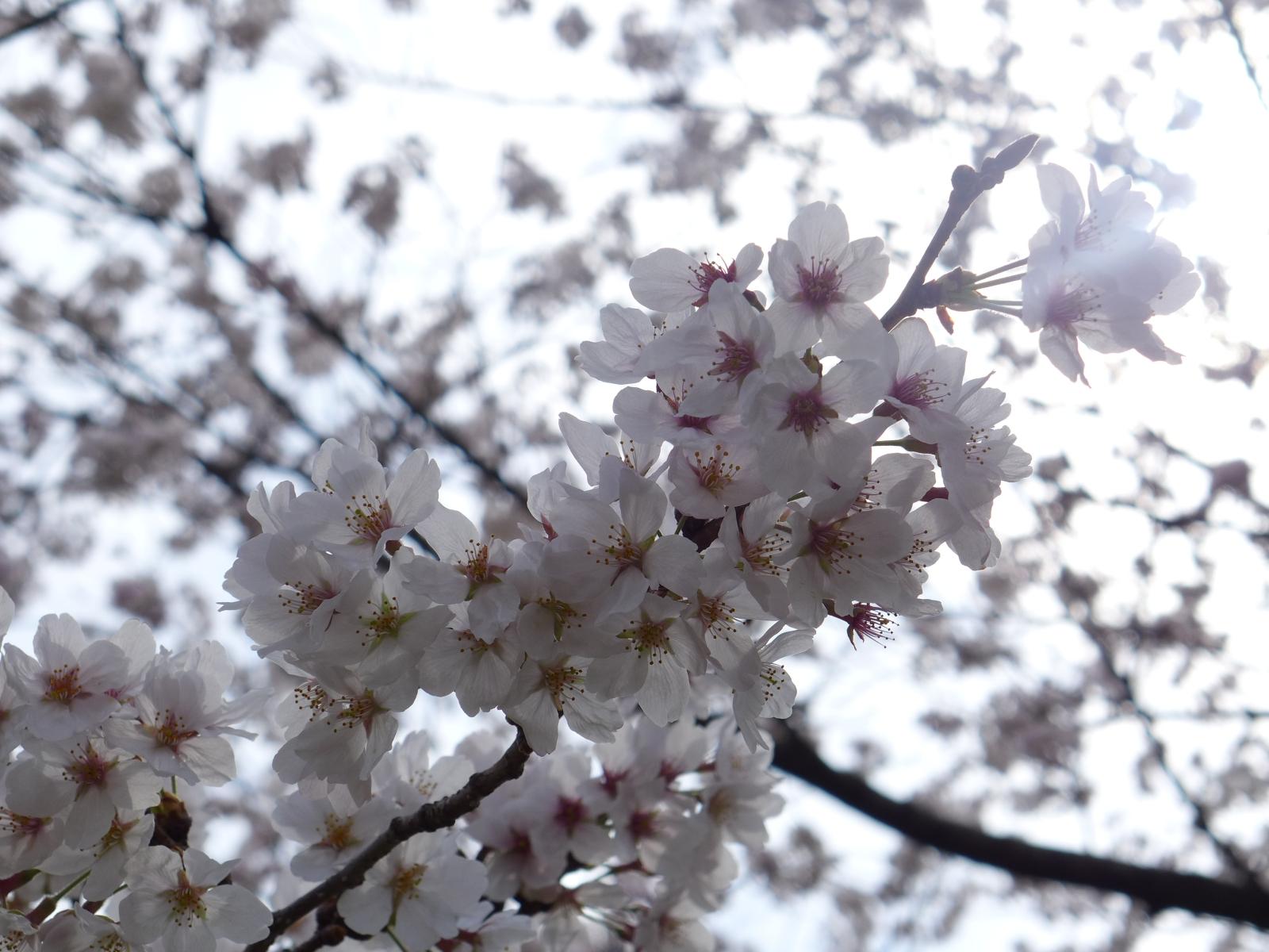 (130324) 駿府城桜-05
