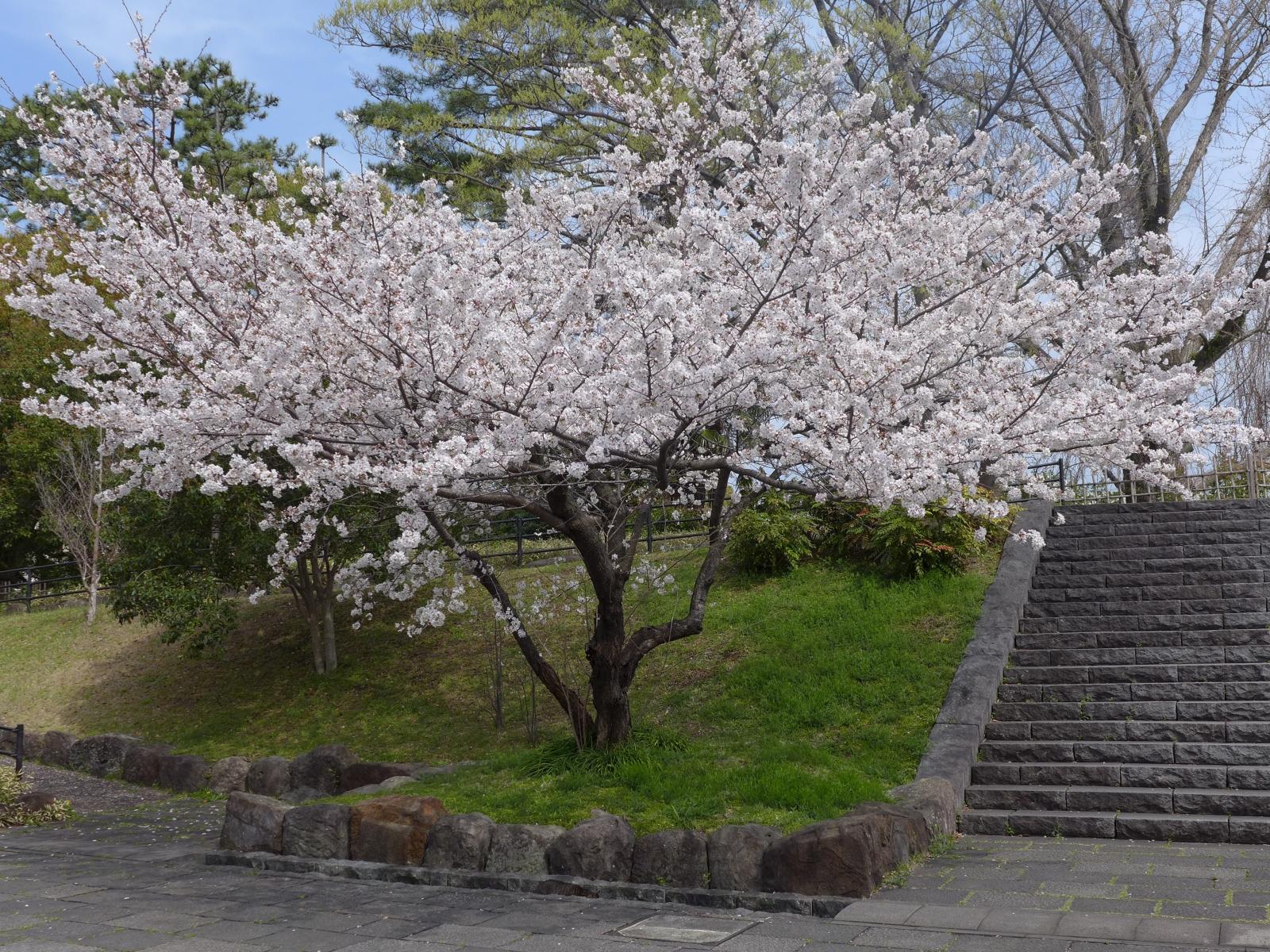 (130324) 駿府城桜-04