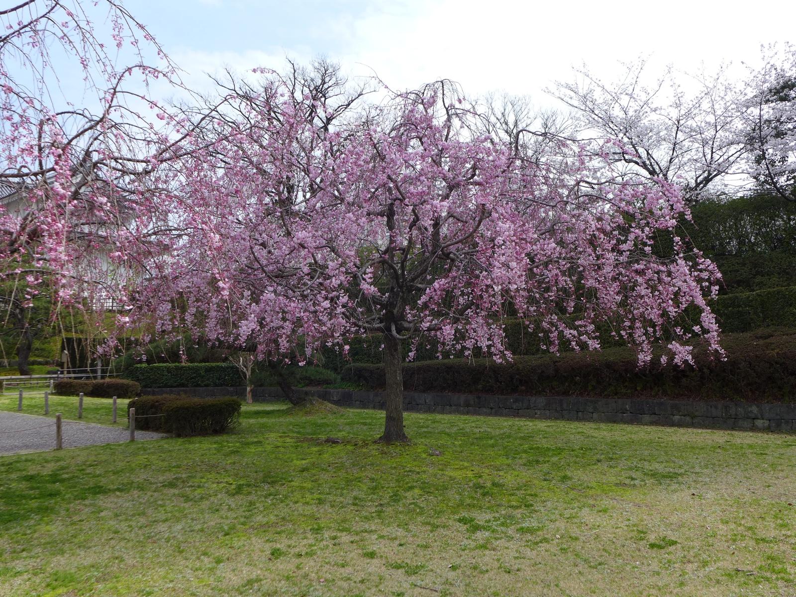 (130324) 駿府城桜-06