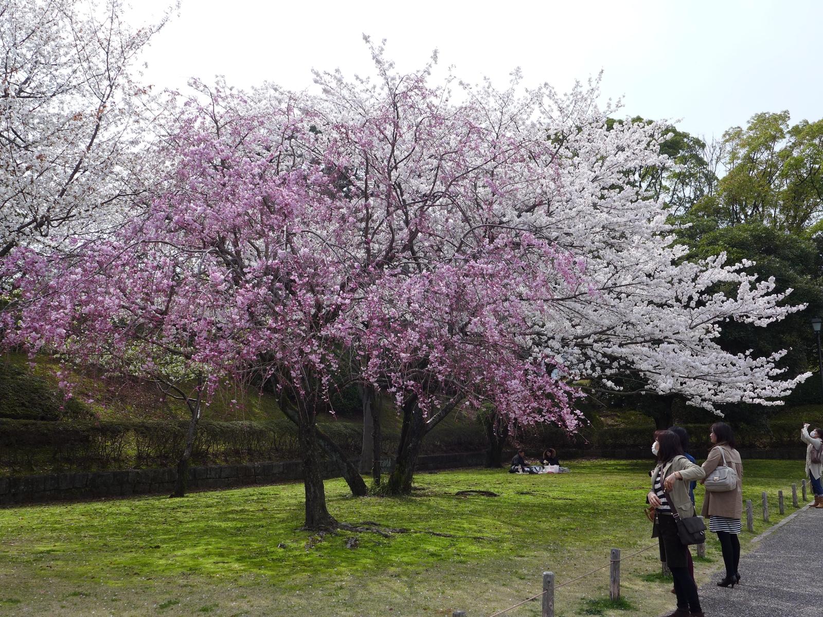 (130324) 駿府城桜-07