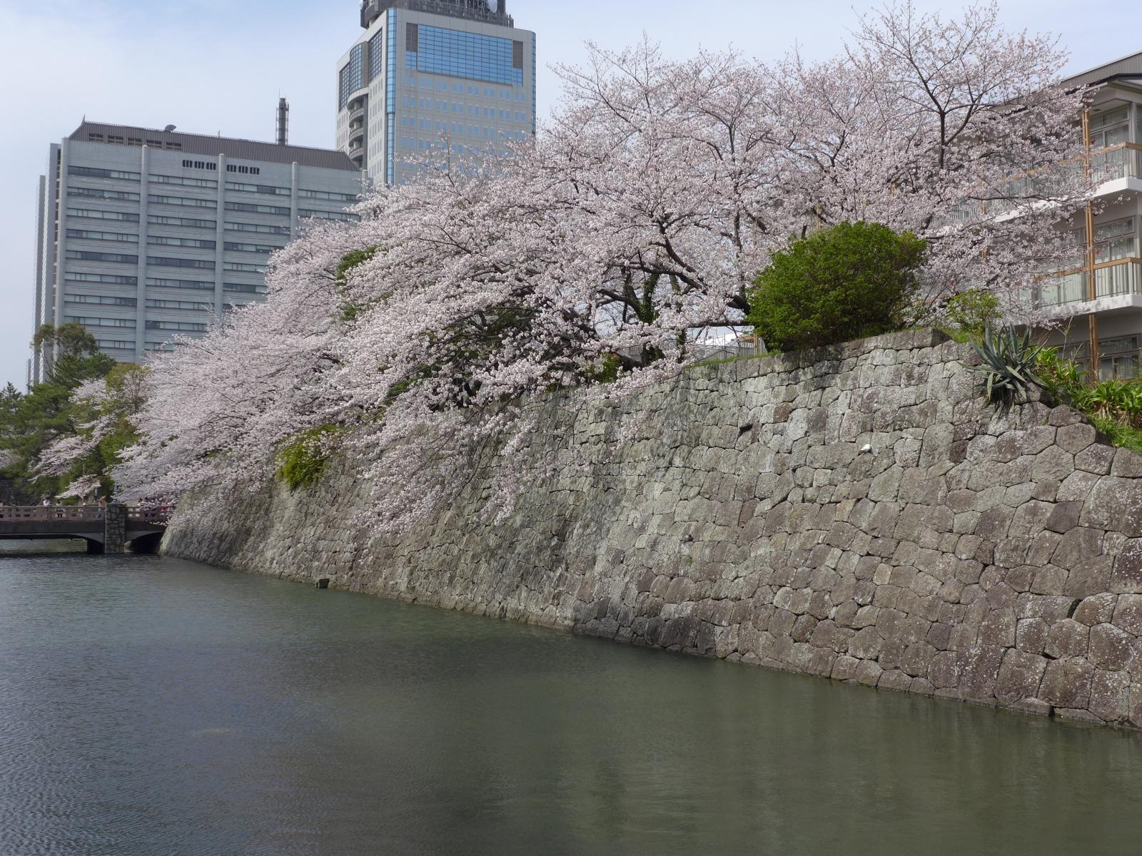 (130324) 駿府城桜-01