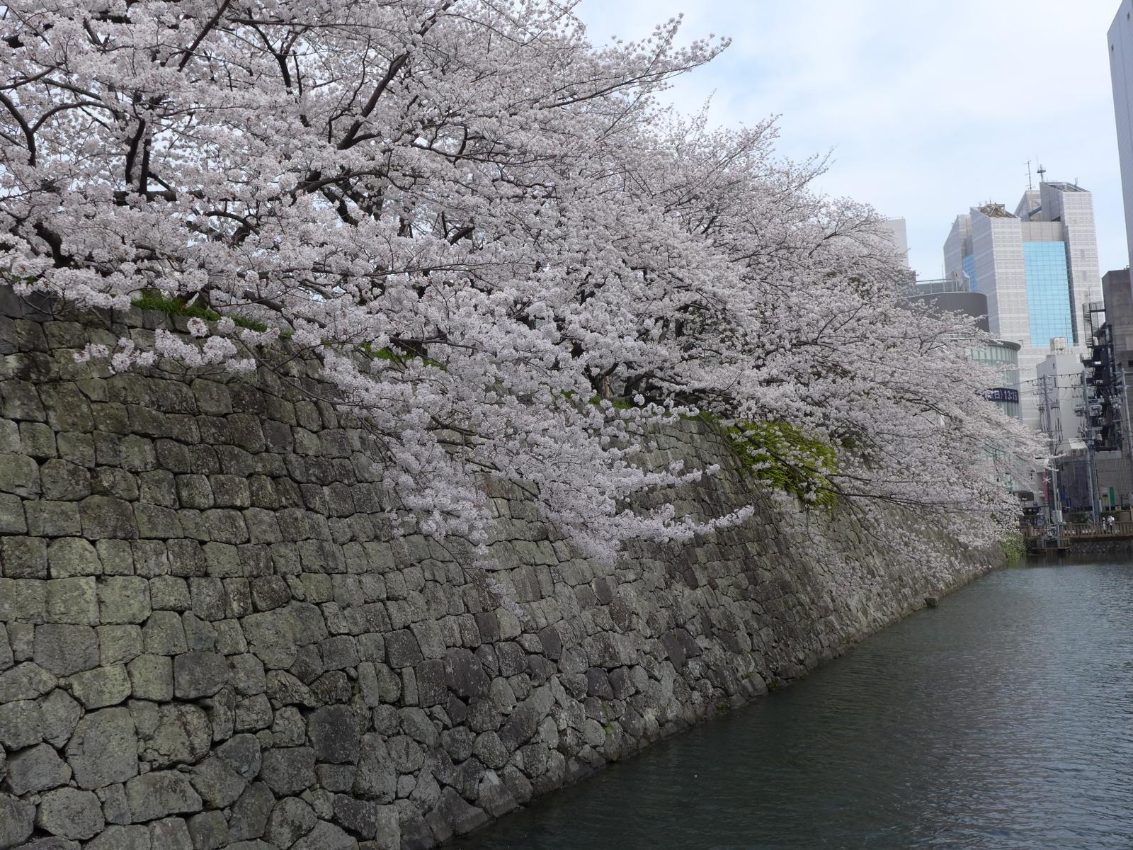 (130324) 駿府城桜-02