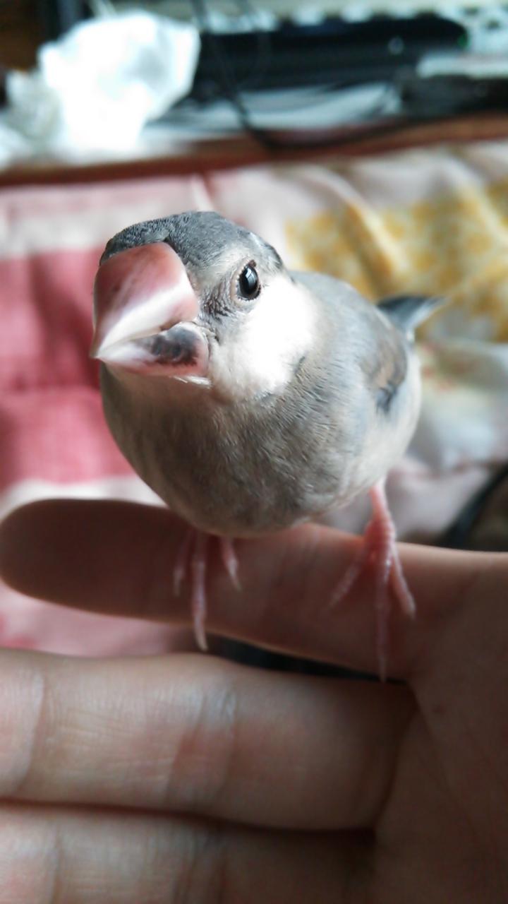 (130402) 文鳥1