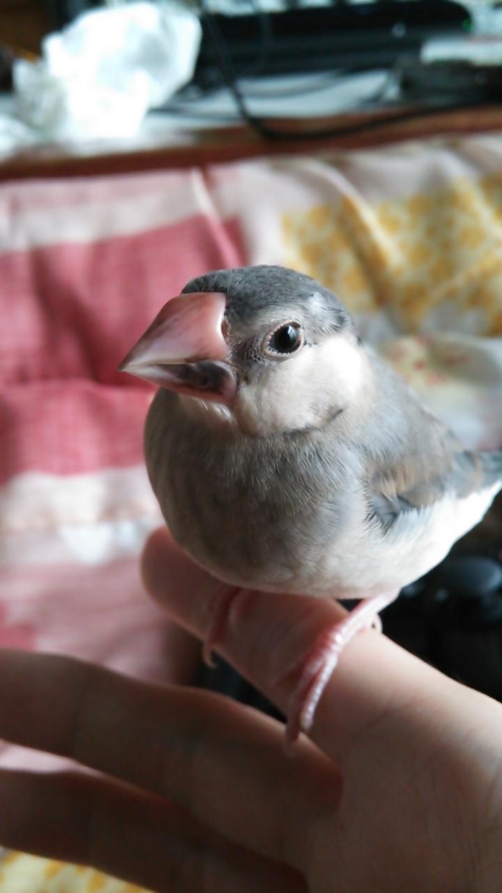 (130402) 文鳥2