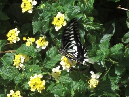 蝶(8月のある日)その2