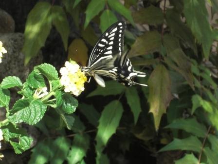 蝶(8月のある日)