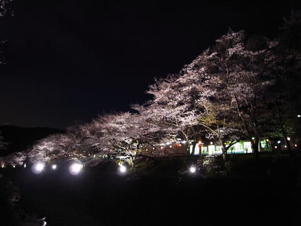 yozakura.
