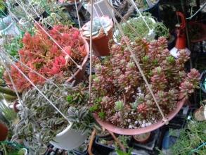 吊鉢仕立ての多肉植物~赤いクラッスラ火祭り、セダムオーロラ、少し毛の生えたキアノティス 銀毛冠(ぎんもうかん)2013.12.27