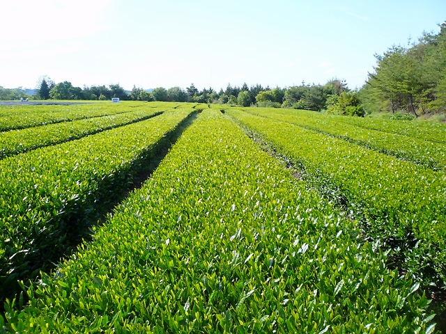 茶畑001