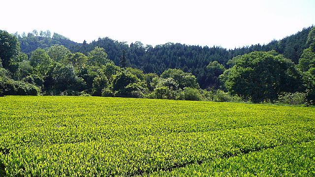 茶畑002