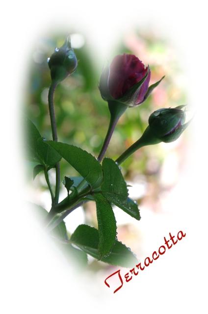 rose-a 028