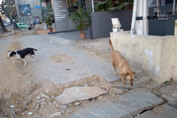インドの犬02