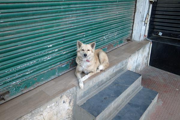 インドの犬01