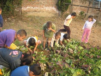 サツマイモの収穫2