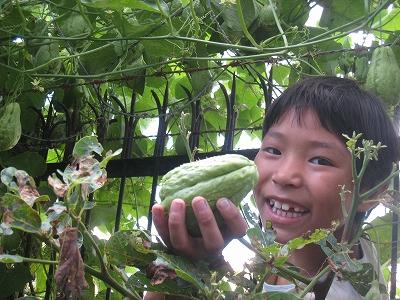 瓜の収穫1