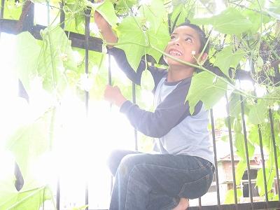 瓜の収穫4