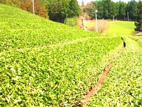 宇治茶 茶園 1