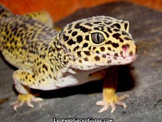 leopard_gecko.jpg