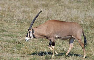 oryx_gazella.jpg