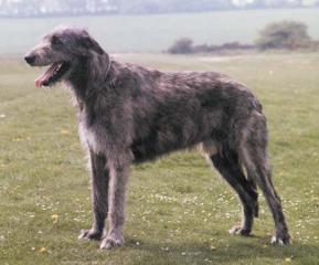 wolfhound.jpg