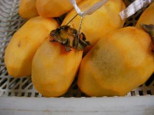 干し柿作り (8)ぶろぐ