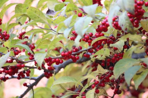 梅もどき0001