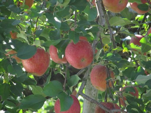 リンゴ園0001
