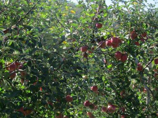 りんご園0001