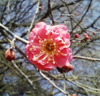 2014/1/8梅の花