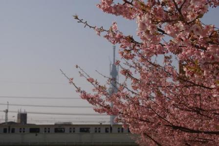 亀戸中央公園の河津桜