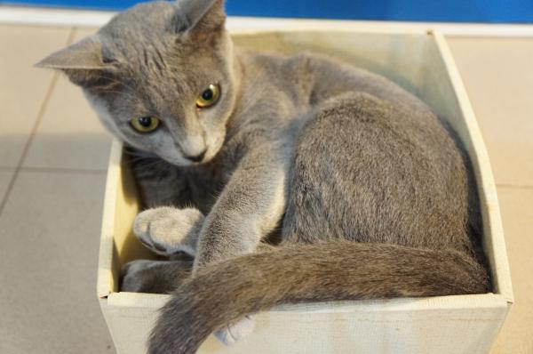 korat cat momo7