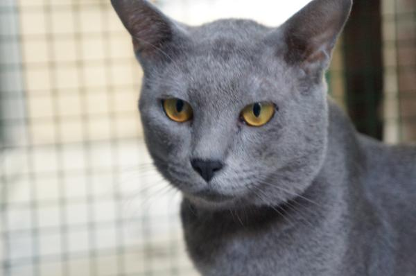 korat cat momo