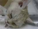 ネコの消化器型リンパ腫1