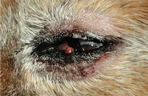 犬の下眼瞼のイボ1