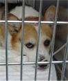 犬の腹膜炎1