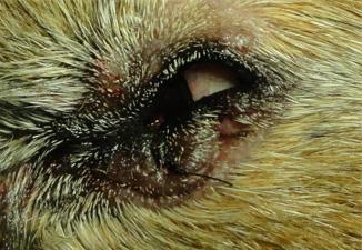 犬の下眼瞼のイボ2