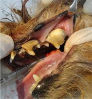 犬の歯槽膿漏2