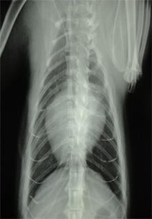 ネコの肥大型心筋症・大動脈血栓塞栓症3