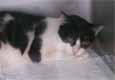 ネコの縦隔型リンパ腫1