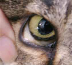 ネコのヘモバルトネラ症1